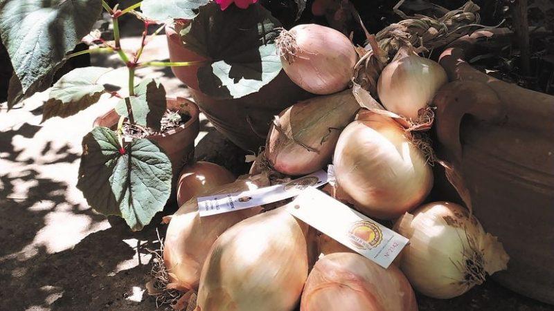 Dal Cilento arriva un nuovo Presidio Slow Food: la cipolla di Vatolla